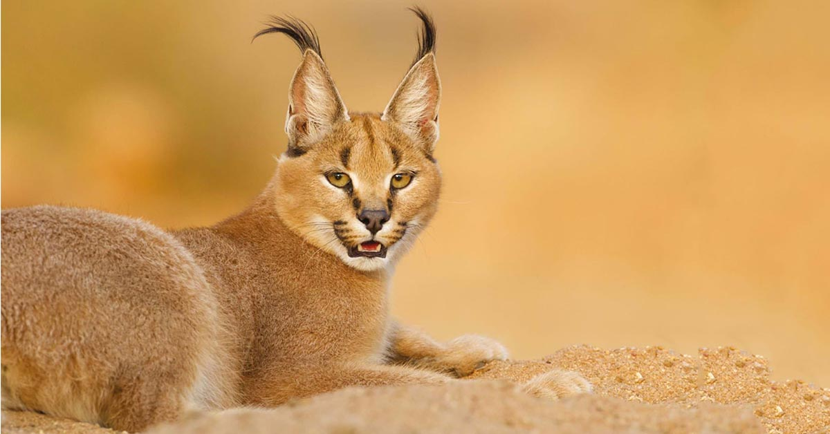 Rat Poison Threat to City's Peri-urban Caracals & Wildlife