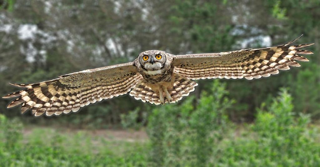Spotted Eagle Owl Post Image