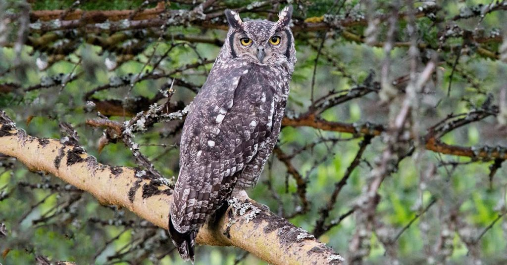 Spotted Eagle Owl Feature Image